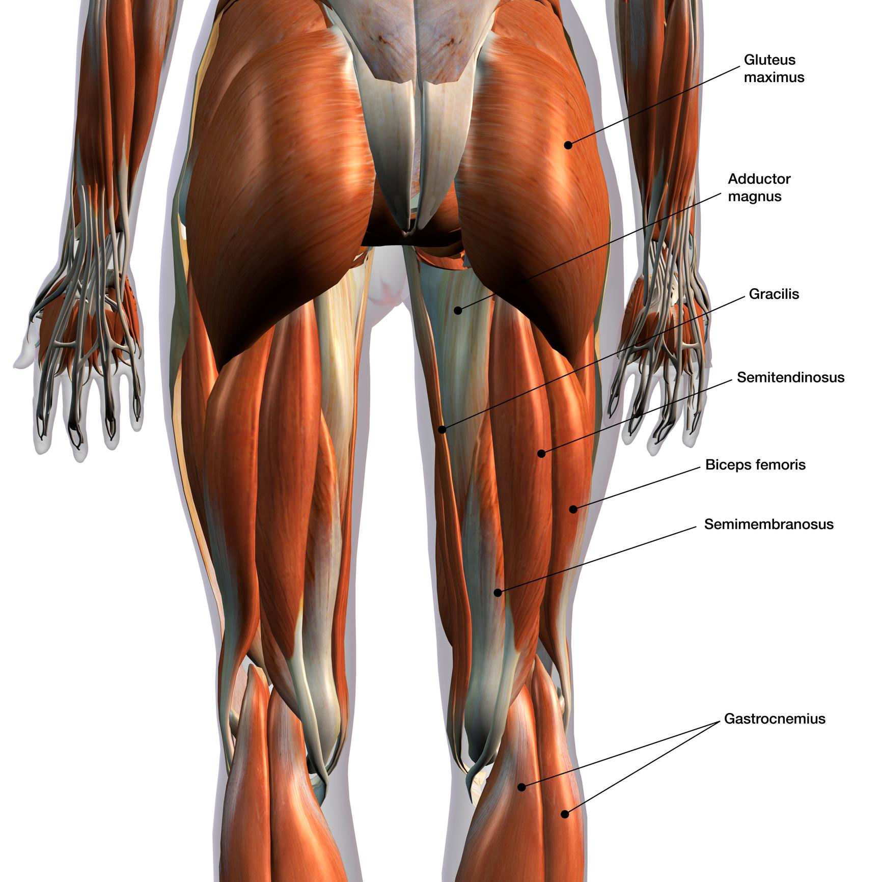 Anatomie Des Ischio Jambiers Blog Eric Favre