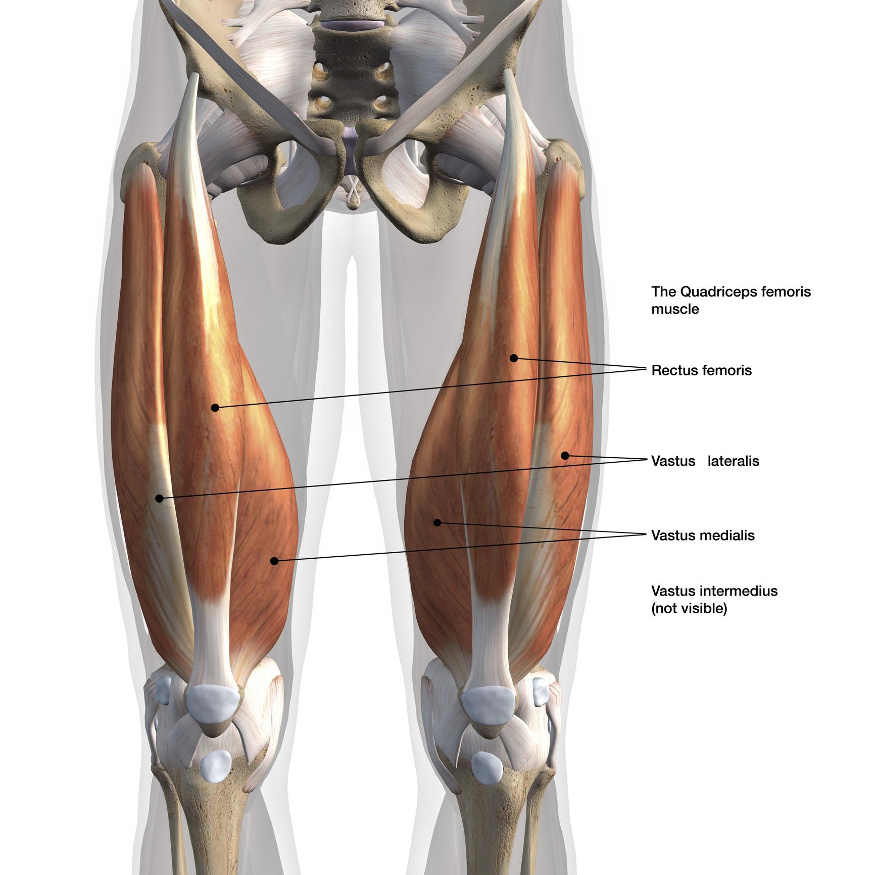 Les Quadriceps Anatomie Et Musculation Blog Eric Favre